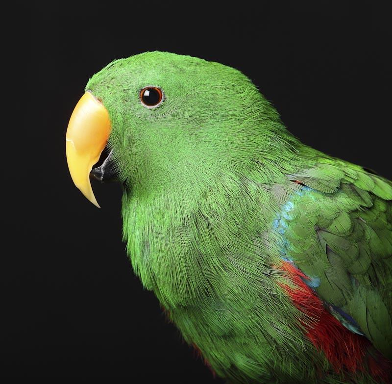 Parrots as Pets Birds Bird Eclectus Parrot Perth