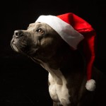 Pet dog in Christmas hat